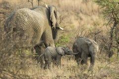 Stado słoń obraz stock