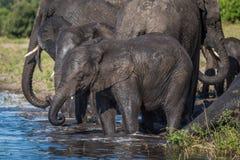 Stado słoń woda pitna w płyciznach Obraz Stock