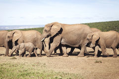Stado słonie Fotografia Royalty Free