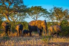 Stado słonie iść pić Zmierzch Zdjęcie Royalty Free