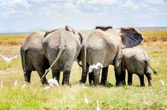 Stado słonie ochrania dziecko słonia w Kenja, Afryka Fotografia Royalty Free