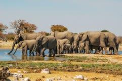 Stado słonie przy waterhole wewnątrz (Elephantidae) Zdjęcie Royalty Free