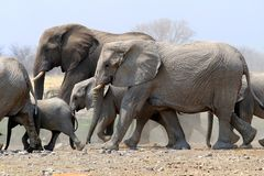 Stado słonie w Etosha niecce - Namibia fotografia royalty free