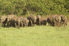 stado słoni Obraz Royalty Free