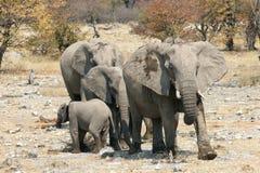 stado słoni Obrazy Royalty Free