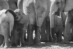 stado słoni Zdjęcia Royalty Free