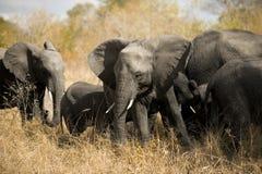 stado słoni Fotografia Royalty Free