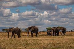 Stado słonia spacer na savana w Tarangire parku narodowym Obrazy Stock