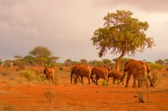 Stado słonie w Afryka w wieczór Obrazy Royalty Free