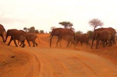Stado słonie w Afryka w wieczór Zdjęcia Stock