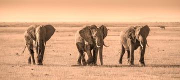 Stado słonie w Amboseli parku narodowym Kenja Obraz Stock