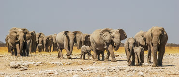 Stado słonie w Etosha Park Narodowy Zdjęcie Stock