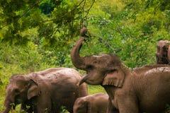 Stado słonie w Kui Buri parku narodowym, Tajlandia Obraz Stock