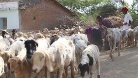 Stado sheeps chodzi w dół drogę z bydło pastuchem ponagla one, zbiory wideo