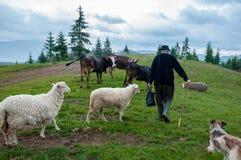 Stado sheeps na paśniku Zdjęcie Stock