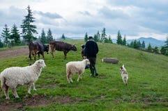 Stado sheeps na paśniku Obraz Stock