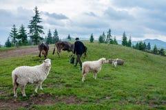 Stado sheeps na paśniku Obrazy Stock