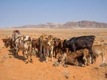 Stado stoi i kłaść przed calfs górami i piaskiem, Damaraland, Namibia, afryka poludniowa Fotografia Royalty Free