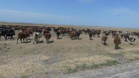 Stado stubarwne milky krowy od chodzenie ciężarówki w slo- mo zbiory wideo