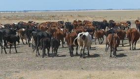 Stado stubarwne milky krowy poruszające na gazonie w slo- mo zbiory wideo