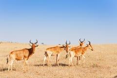 Stado topis wypasa w Kenijskiej sawannie, Afryka Obraz Royalty Free