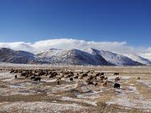 Stado w górach Zdjęcie Royalty Free
