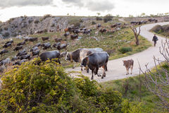 Stado Włoskie krowy Sheppard Fotografia Stock
