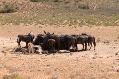 Stado wildebeest Obraz Stock