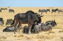 Stado wildebeest (Connochaetes) Obraz Royalty Free