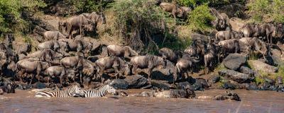 Stado wildebeest i zebry skrzyżowanie Nil rzeka zdjęcia stock