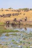 Stado wildebeest na brzeg staw z lelują Kenja, Afryka fotografia stock