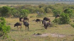 Stado wildebeest pasają w krzakach afrykanin rezerwa zdjęcie wideo