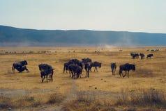 Stado wildebeest w Ngorongoro kraterze, Tanzania zdjęcia stock