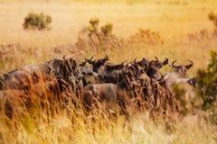 Stado wildebeests ma odpoczynek podczas migraci Fotografia Stock