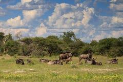 Stado wildebeests przy Etosha parkiem narodowym Zdjęcie Stock