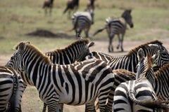 stado zebr Zdjęcia Royalty Free