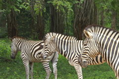 stado zebr Obraz Royalty Free