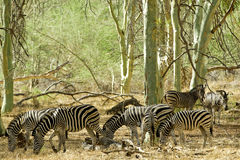 stado zebra Fotografia Stock