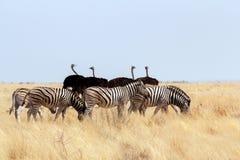 Stado zebra i struś w afrykańskim krzaku Zdjęcia Royalty Free