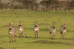 Stado zebry na obszarach trawiastych Zdjęcia Stock