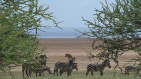 Stado zebry pasa na sawannie zdjęcie wideo