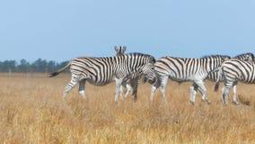 Stado zebry w żółtym stepie w Ukraina w lecie w mo zbiory
