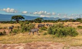 Stado zebry w Kenja, Afryka Zdjęcia Stock