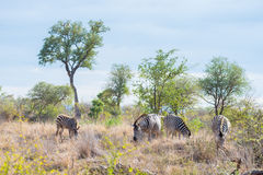 Stado zebry w krzaku Przyroda safari w Kruger parku narodowym, specjalizuje się podróży miejsce przeznaczenia w Południowa Afryka Obraz Stock