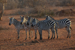 Stado zebry w sawannie Zdjęcia Royalty Free
