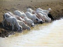 Stado zwierzęta w Sudan, Afryka Obrazy Stock