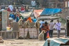 Stads- djurliv, indier Gray Langur Monkeys och folk tillsammans i Indien i Indien arkivbild