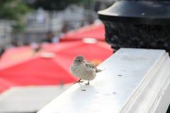 stads- sparrow Arkivbilder