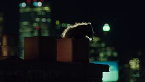 Stads- tvättbjörnar är opportunister, och de är ivriga att undersöka den nya miljön, vår i Toronto USA royaltyfri fotografi