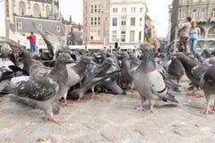 Stadsduif, Feral Pigeon, Columba Livia imagem de stock royalty free